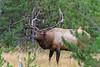 Elk_9-26-12