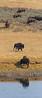 Yellowstone_Buffalo_9-26