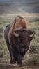 Yellowstone_Buffalo_9-27-5