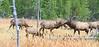 Elk_9-26-22