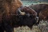 Yellowstone_Buffalo_9-27-7