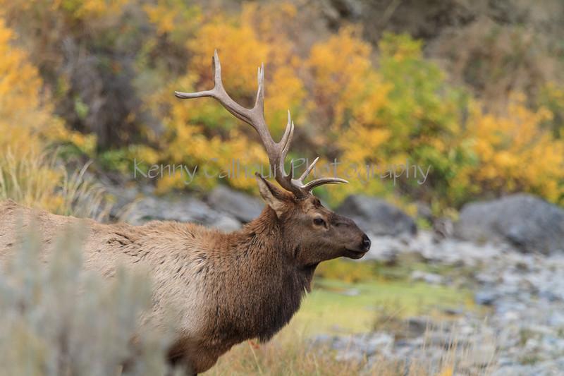 Elk_9-26