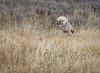 Coyote in Hayden Valley _N5A5716