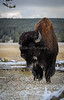 Bison In Snow, Fountain Flats_N5A3674