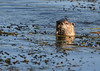 Yellowstone River Otter IMG_9205