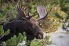Henry's Fork Moose _N5A4818
