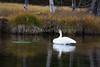 Trupeter Swan_N5A5759-Edit