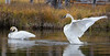 Trupeter Swan_N5A5801-Edit