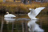 Trupeter Swan_N5A5799-Edit