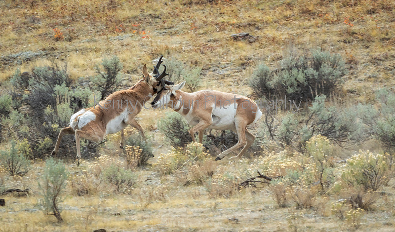 Antelope Fight951A6201-Edit-Edit