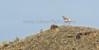 Running Antelope951A5869-Edit-Edit
