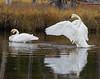 Trupeter Swan_N5A5802-Edit