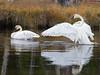 Trupeter Swan_N5A5800-Edit