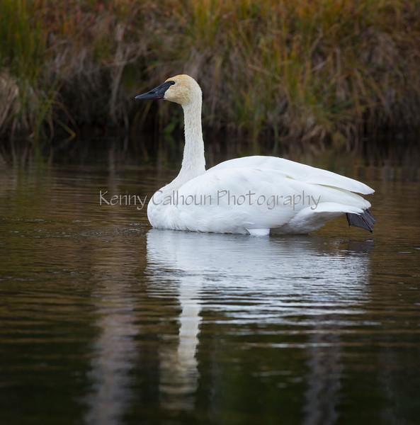 Trupeter Swan_N5A5705-Edit