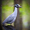 Yellow Crowned Night Heron, McKee Beshers