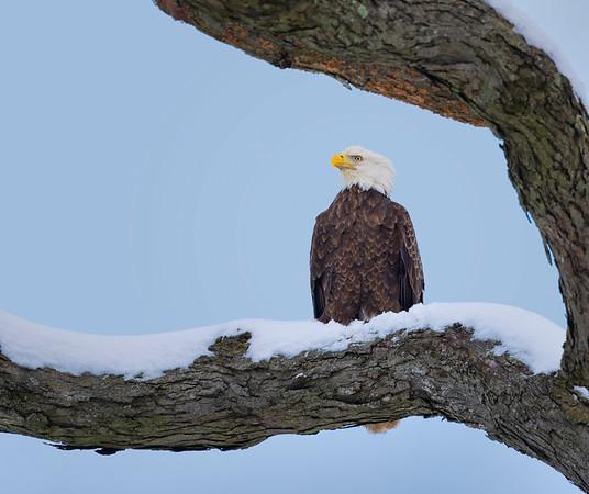 Ag Reserve Eagle