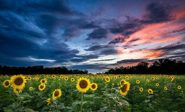 Local Sunflowers