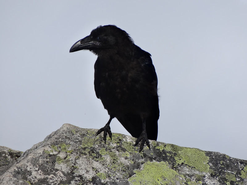 The crow. Picture by Joe Tobiason.