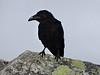 The crow. Picture by Joe Tobiason.