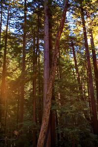 Sun Flare Through the Redwoods