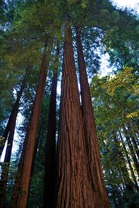 Majestic Redwoods