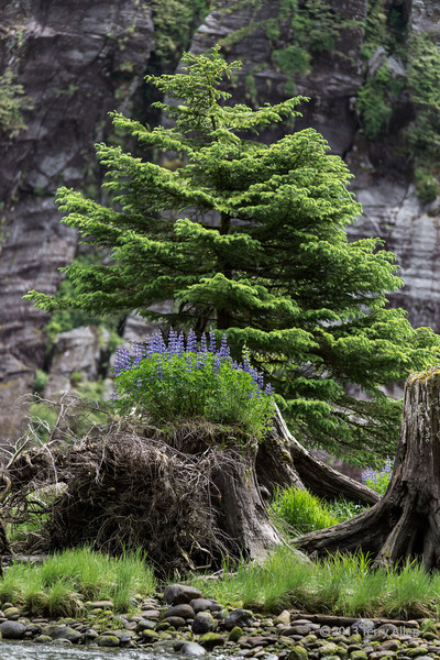 Lupines in late spring growing on an old stump on the shores of Mussel Creek, mid-coast British Columbia.  The granite cliffs of the fjord can be seen in the background