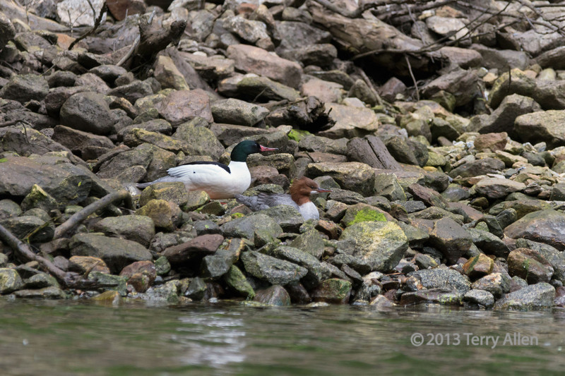 Male and female merganzer ducks lying on the rocky shore of Mussel Creek, mid-coast British Columbia