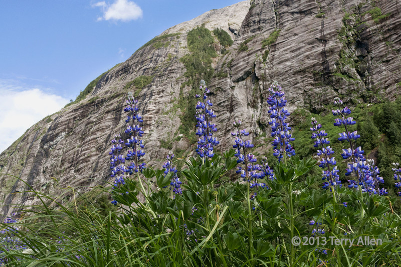 Wild lupines and rock face<br /> <br /> Lupinus perennis, Mussel Creek, British Columbia