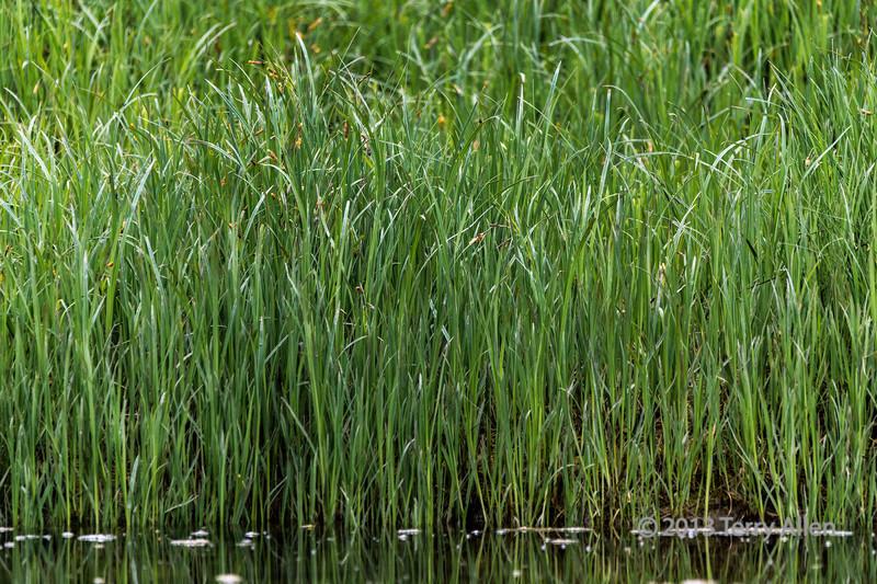 Spring sedge grass, Mussel Creek estuary, mid-coast British Columbia