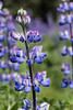 "'L' is for Lovely Lupines (better at larger sizes)<br /> <br /> This photo is not from my garden, but I like it for 'L'.  However, my alternate 'L' today IS from my garden, and can be seen here: <a href=""http://goo.gl/A9cLGG"">http://goo.gl/A9cLGG</a><br /> <br /> 29/09/13  <a href=""http://www.allenfotowild.com"">http://www.allenfotowild.com</a>"
