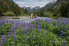 "Beautiful, Natural, British Columbia (best seen at large sizes)<br /> <br /> Mussel Creek with lupines and snowfields, Fiordlands Conservancy, mid-coast British Columbia. This is part of the vulnerable area in danger of destruction from an oil spill if oil tanker traffic down the coast increases if/when the Northern Gateway Pipeline is built.  Information about the Fiordlands can be found here: <a href=""http://www.env.gov.bc.ca/bcparks/explore/parkpgs/fiordland/"">http://www.env.gov.bc.ca/bcparks/explore/parkpgs/fiordland/</a><br /> <br /> For other photos of this beautiful area click here: <a href=""http://goo.gl/cW59nx"">http://goo.gl/cW59nx</a><br /> <br /> 12/10/13  <a href=""http://www.allenfotowild.com"">http://www.allenfotowild.com</a>"