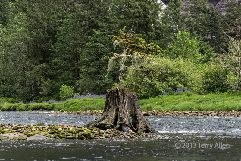 Mussel Creek with lupines and small tree covered with moss and old man's beard lichen, mid-coast British Columbia