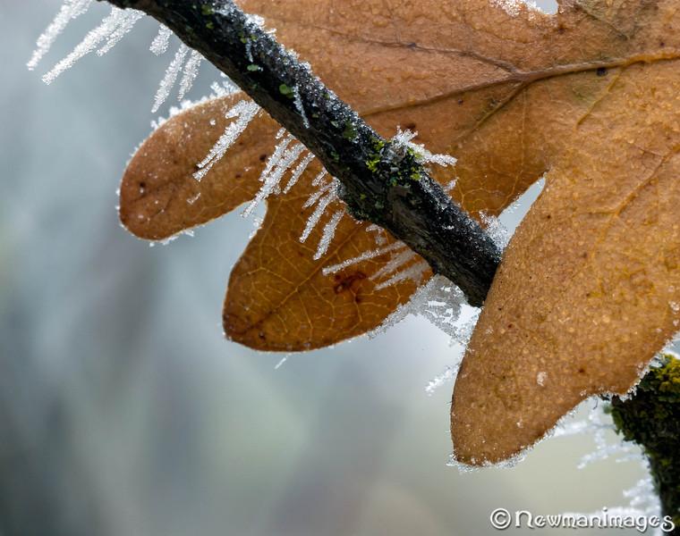 Oak Leaf and Hoar Frost