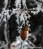 Acorn Frost