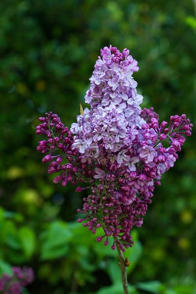 Lilac, Syringa Vulgaris, OLEACEAE Family