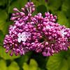 Lilac - Syringa vulgaris - OLEACEAE Family