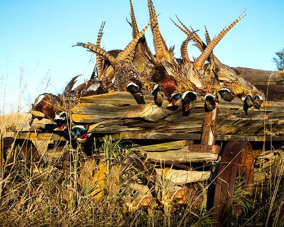 Pheasant Hunt - 2013 Mott, North Dakota