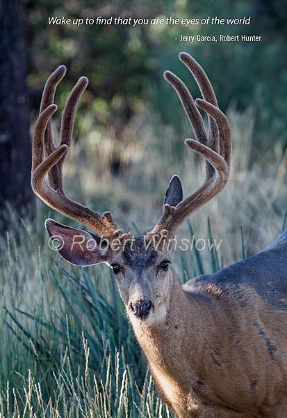Mule Deer, Odocoileus hemionus, Coat in late summer molt, La Plata County, Colorado, USA, North America