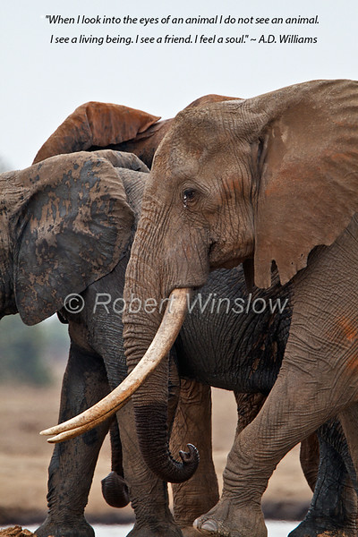 African Elephants, Loxodonta africana, With Big Tusks, Tsavo East National Park, Kenya, Africa, Proboscidea Order, Elephantidae Family