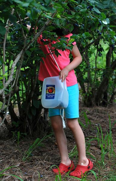 Picking Blueberries in Putney