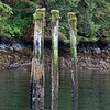 Old wharf pilings at low tide with moss and grass growth above and barnacles below, Butedale, Princess Royal Island, British Columbia