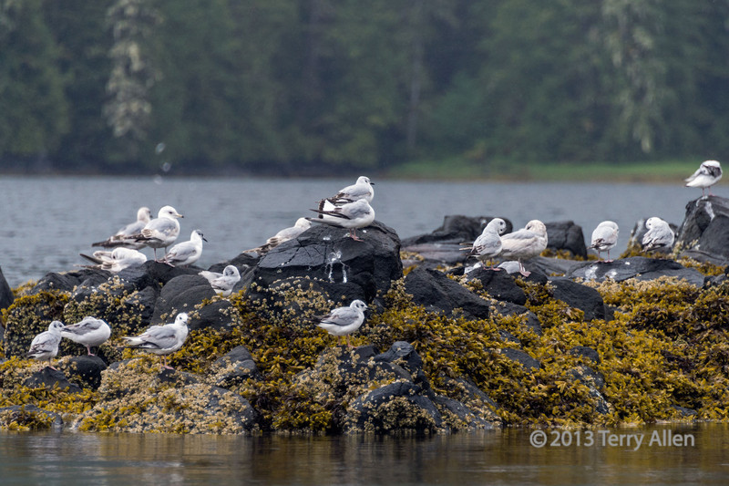 Flock of Bonaparte gulls grooming in light rain near Gil Island, mid-coast British Columbia