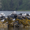 Flock of Bonaparte gulls grooming in light rain near Gil Island, mid-coast British Columbia