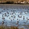 Shorebirds (mostly Dunlin)