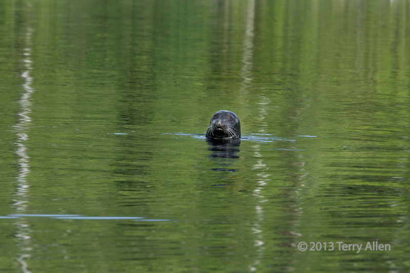 Curious harbour seal with forest refections, Rescue Bay, BC (the seal itself is best seen at the largest size)