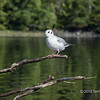 "Bonaparte gull, early morning, Rescue Bay, BC<br /> <br /> This is a new species of gull for me (meaning just that I didn't know about them before I saw these; they are quite common in the area).  I was out in a small row boat in the early morning, and found that the birds didn't spook very easily if I went upwind of them and just drifted down on them like a piece of driftwood.   I liked the branches extending into the fame and the reflections of the forest in the water<br /> <br /> Other new pics of Bonaparte gulls, and a pic of a curious seal can be seen here; <a href=""http://goo.gl/kvWHv"">http://goo.gl/kvWHv</a>"