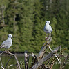 Pair of Bonaparte gulls, Rescue Bay, BC