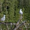 Pair of Bonaparte gulls, Rescue Bay, BC