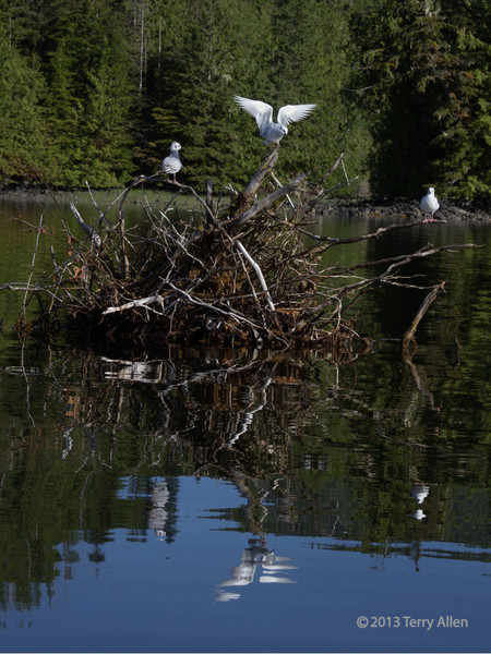 Bonaparte gulls with reflections, Rescue Bay, BC (best seen at larger sizes)