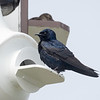 Purple Martin at Cape May Point SP